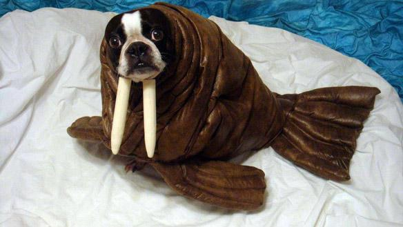 This dog doesnu0027t even need to put chopsticks in his nose to look like a walrus & 15 Dogs In Costumes That Will Make You Excited For Halloween
