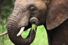 What Do Elephants Eat How Much Does An Elephant Every Day