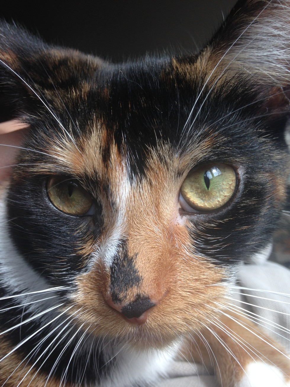 X-Chromosome Causes Calico Coloring In Cats
