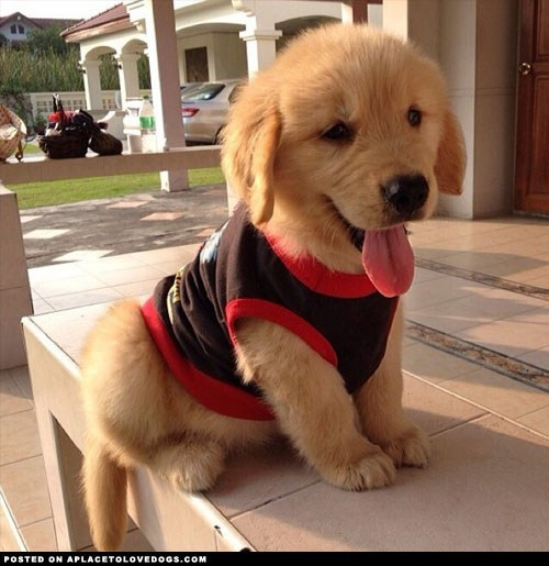 Eight Reasons Why Golden Retrievers Are The Best Dogs - 25 photos that prove golden retrievers are the cutest puppies