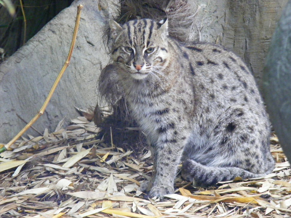African Fishing Cat Fishing Cat
