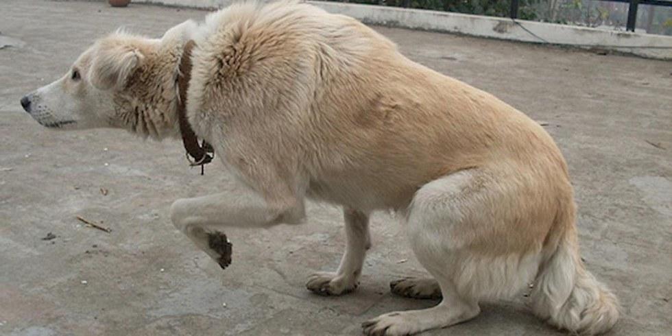 Dog Showing One Leg Raising