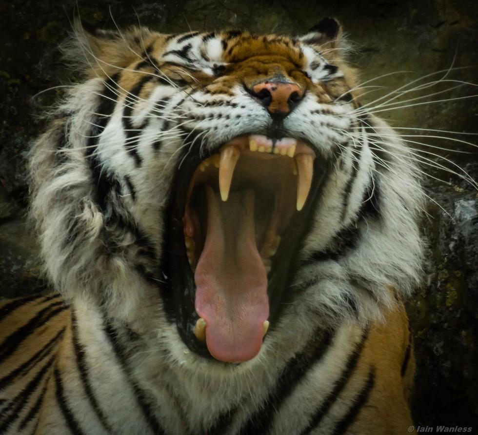 Big Cats With Distemper