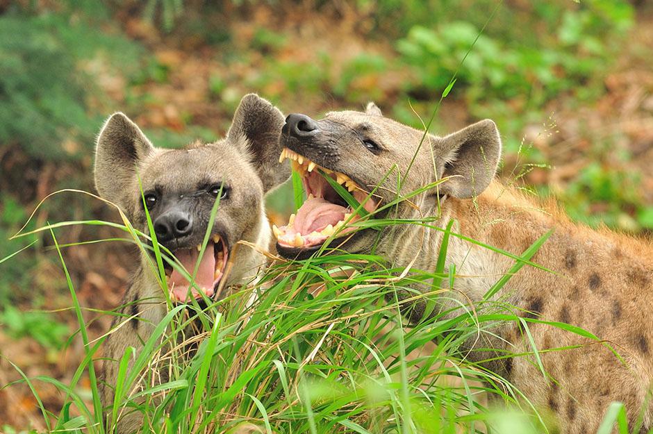 Um, Female Hyenas Have a Fake Penis