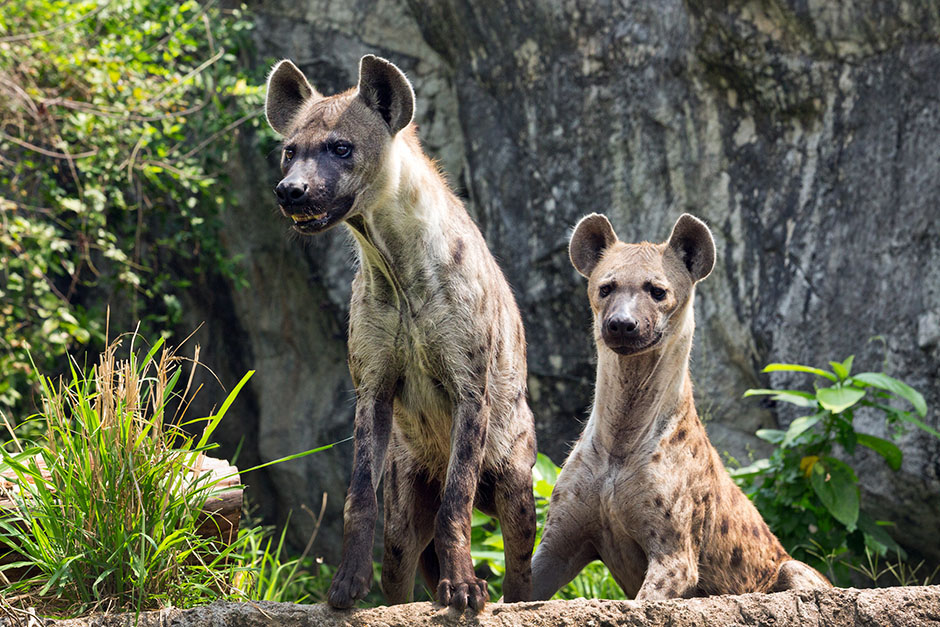 Um, Female Hyenas Have A Fake Penis-6627