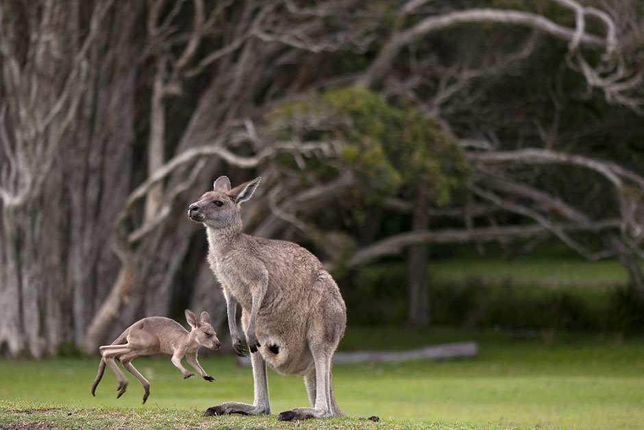 how to draw a kangaroo jumping