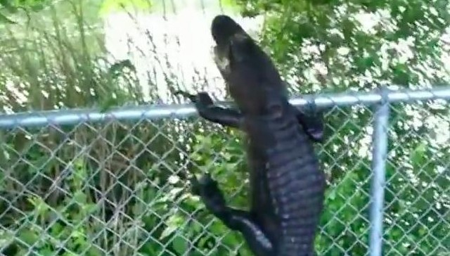 Gator Laughs At Humans Puny Efforts To Contain Him