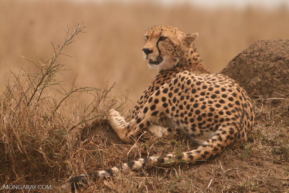 Scientists call for cheetah to be listed as endangered