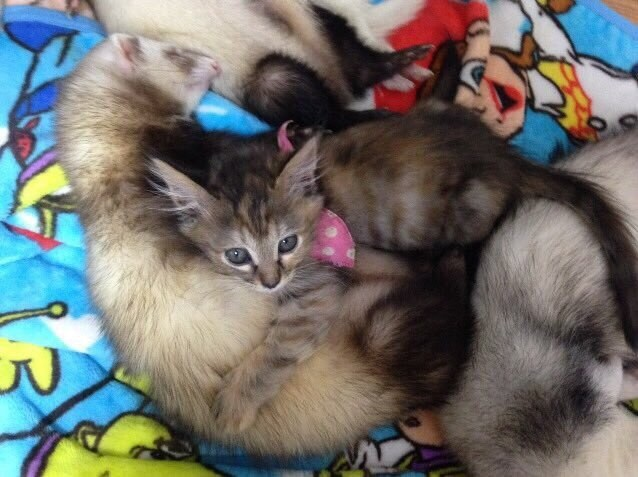 Orphaned Kitten Adopted By Unlikely Friends Now Thinks Shes Part - Rescued kitten adopted by ferrets now thinks shes a ferret too