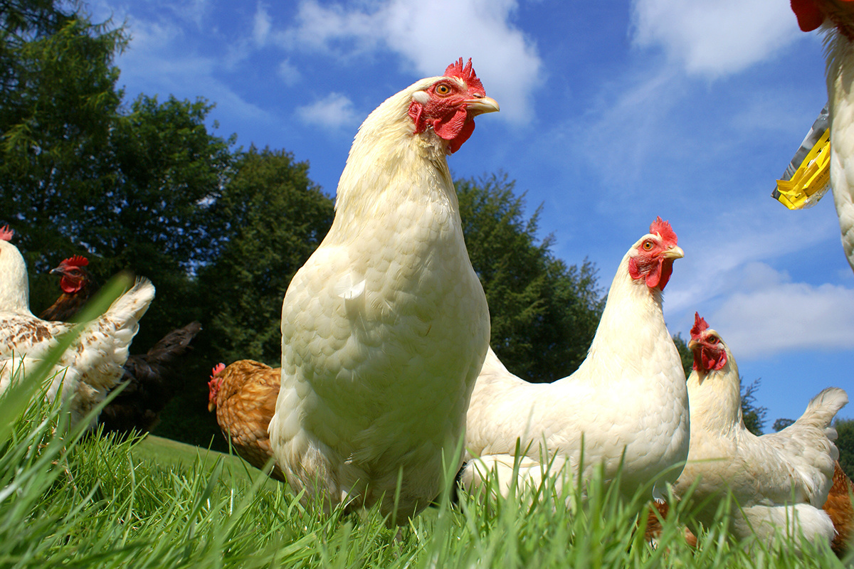 photo image USDA Plans to Side With 'Fake Organic' Egg Producers, Ditch Animal Welfare Rule