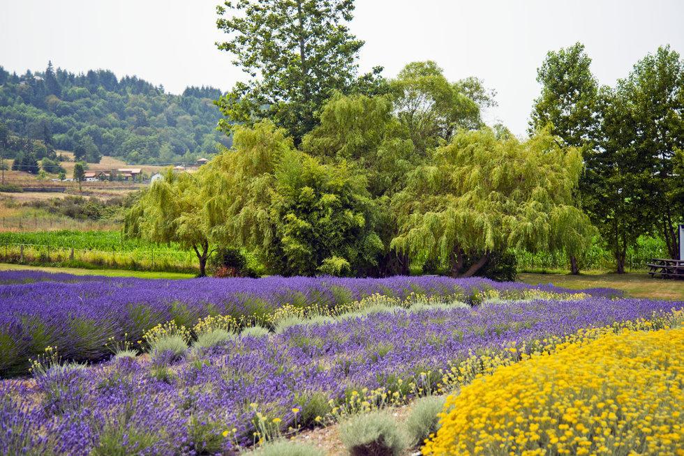 Fields of flowers blooming in Sequim