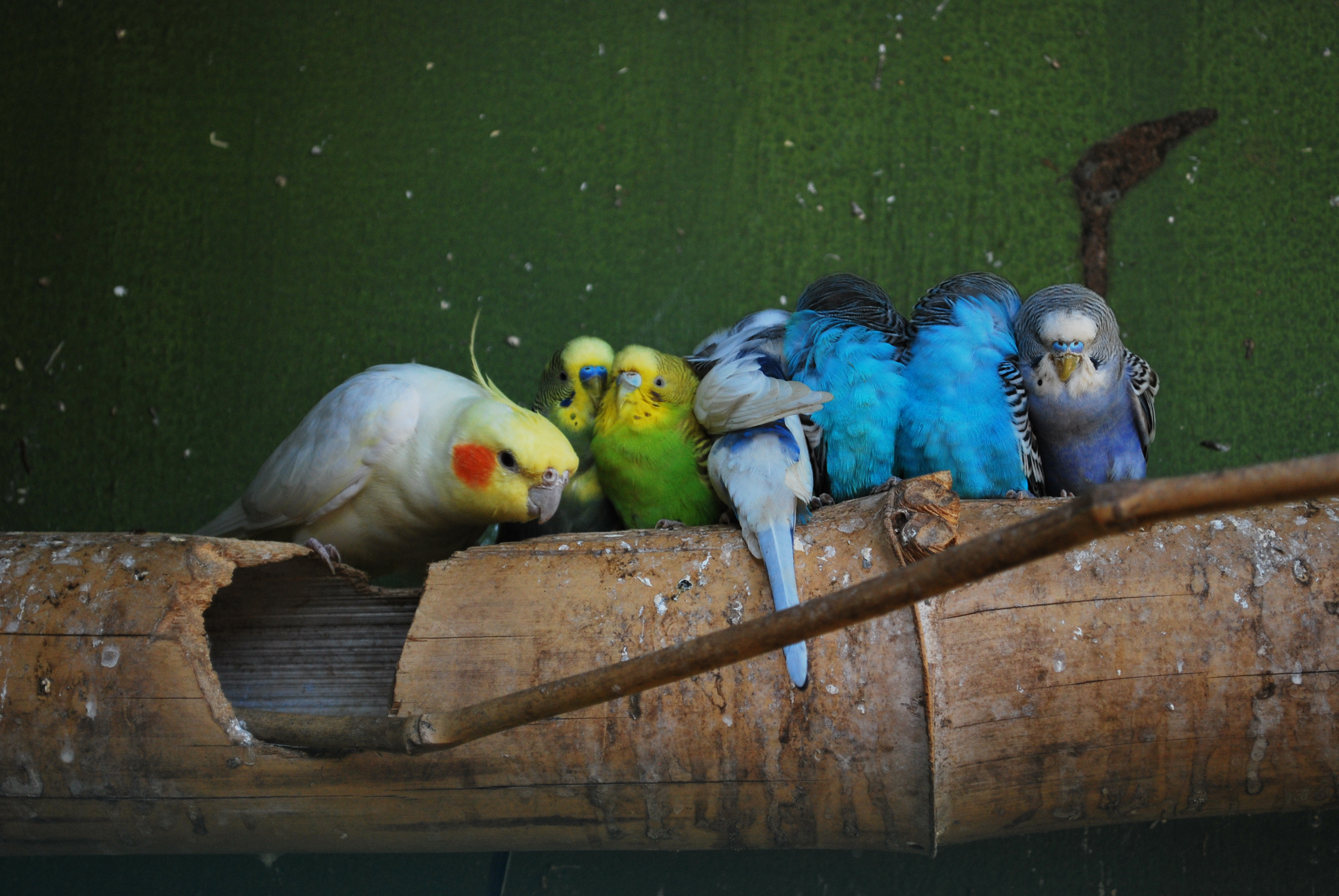 4 Birdyful Reasons Why Budgies Are The Perfect Pet For Your