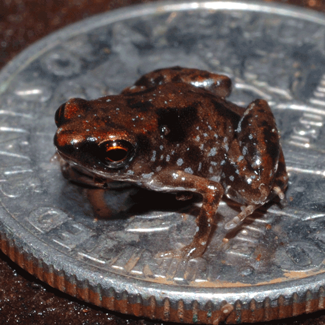 smallest frog