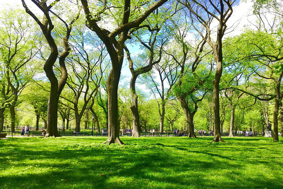 Grassy area in Central Park in the summer.