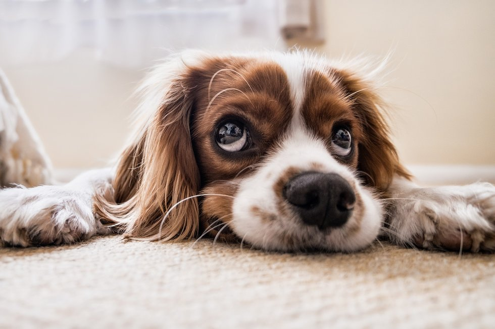 If Youu0027re Looking For A Cuddle Bug, This Is The Dog For You. Cavalier King  Charles Spaniels Just Want To Love And Be Love. They Bond Very Closely With  Their ...