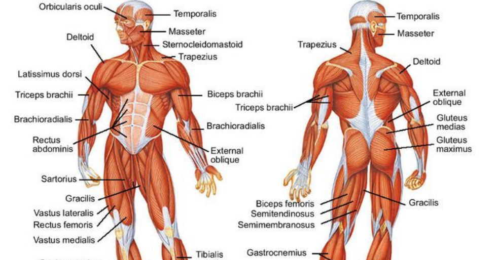 This Is The Science Behind How Muscle Is Built We Are The Mighty