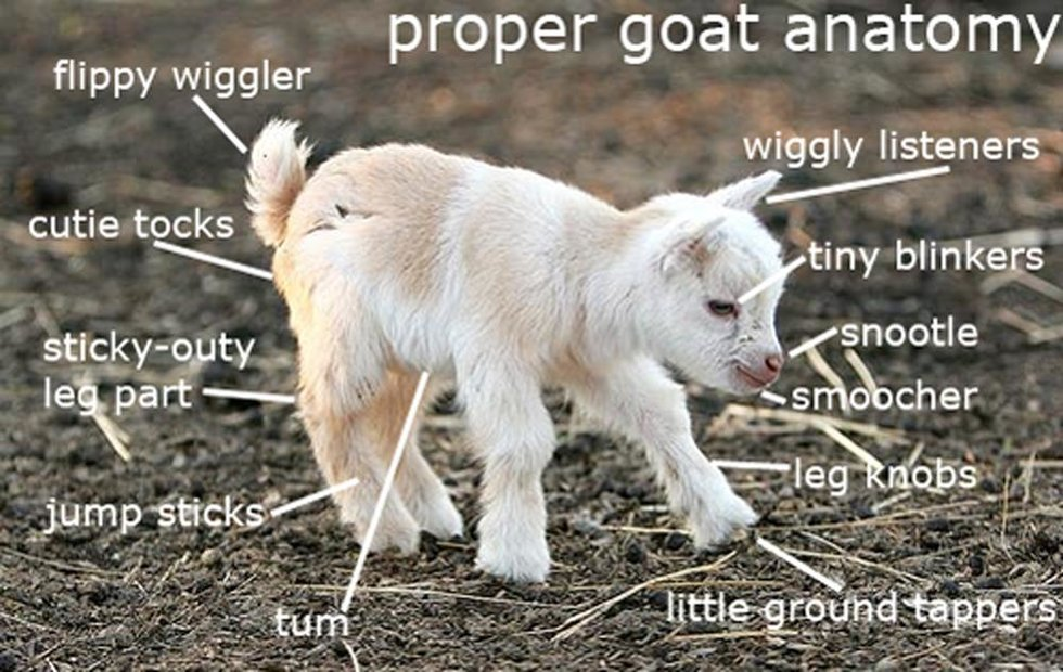 11 Things That Are True If You\'re The GOAT Goat Owner