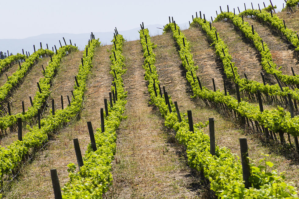 Rows of wine grapes in Chile's Central Valley
