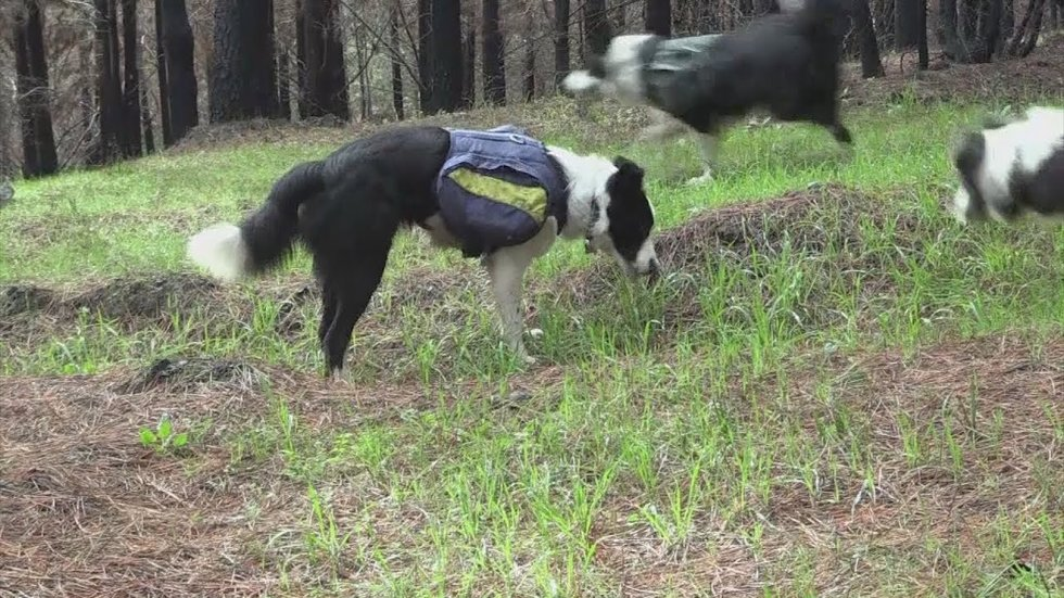 Border Collies Work to Reseed a Forest Burned by Wildfires in Chile