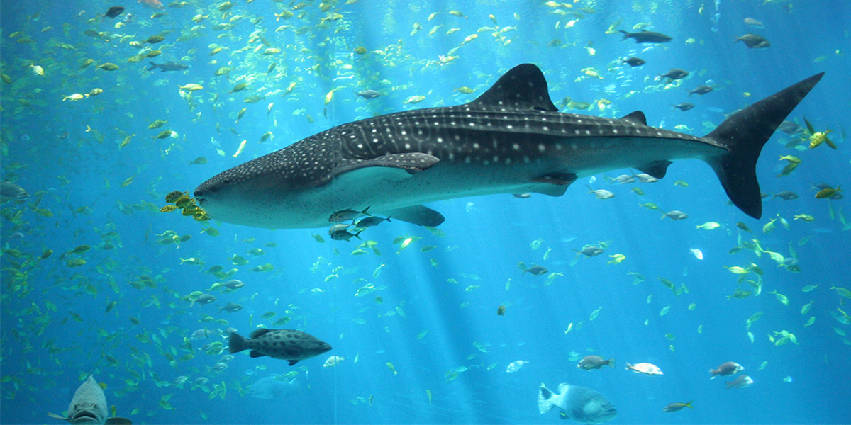 photo image Longest Recorded Whale Shark Migration