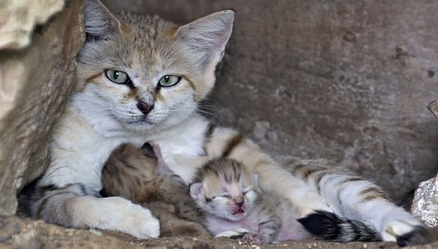 Rare Sand Cat Who Lost Her Mate Makes A Very Special Delivery