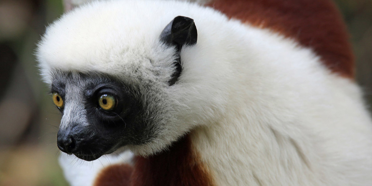 photo image Sifaka Lemurs Listed as 'Critically Endangered' Amid Mysterious Die-Off