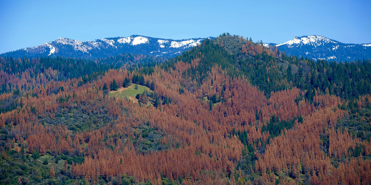 photo image California Tree Loss Could Have Implications for Forests Nationwide