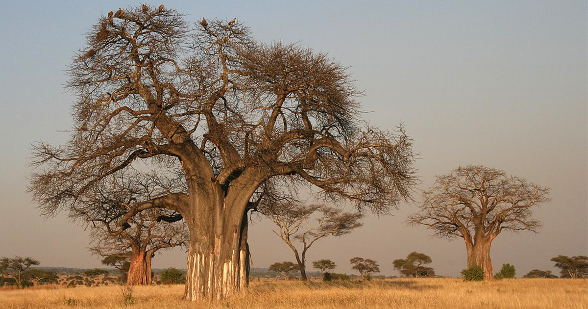 photo image Africa's Iconic Baobabs Are Dying, Including World's OIdest Flowering Tree