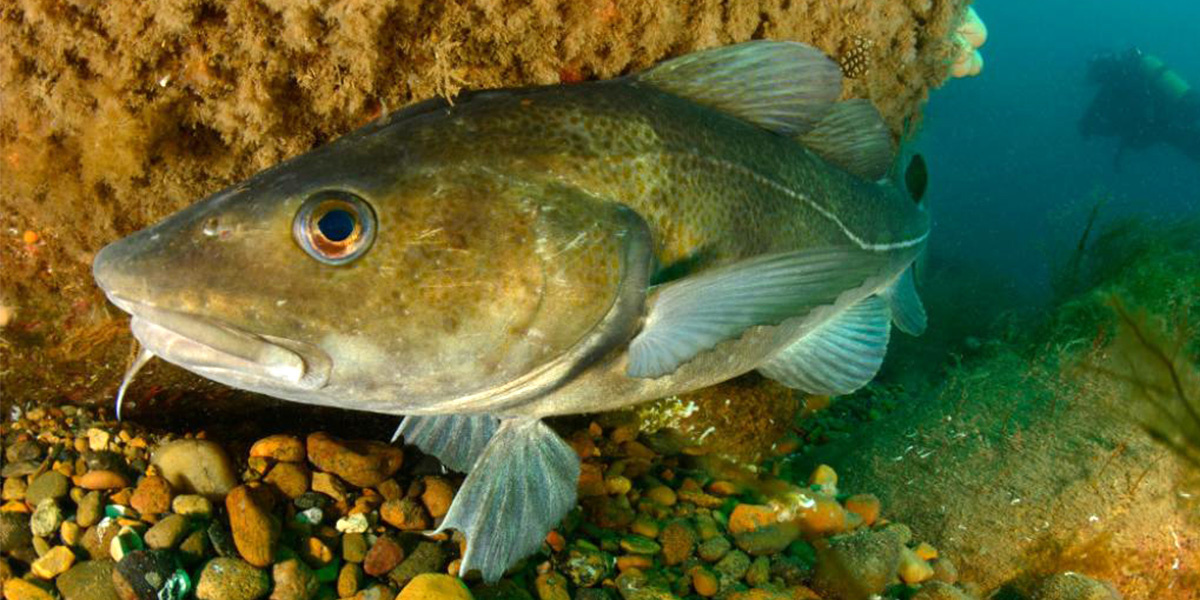 photo image Old, Fat Fish Have the Most Offspring, Sustainability Study Finds