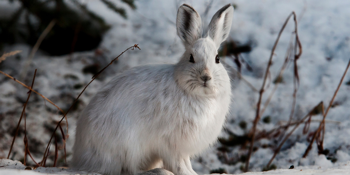 photo image Toxic Leftovers From Giant Mine Found in Snowshoe Hares