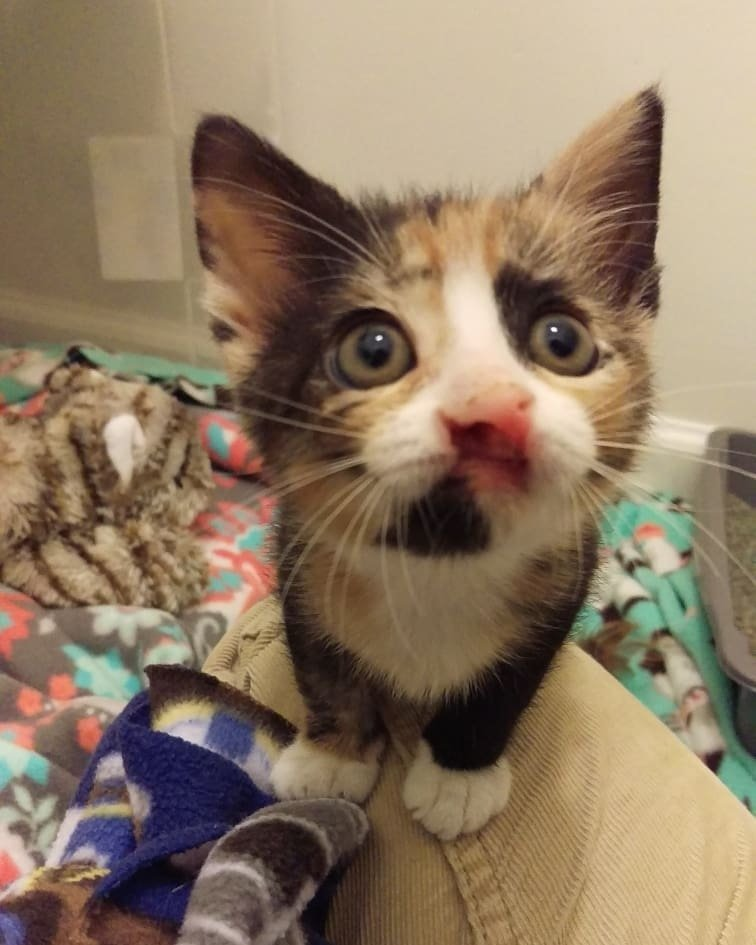 Calico Kitten Can't Grow But a Couple Changes Her Life ...