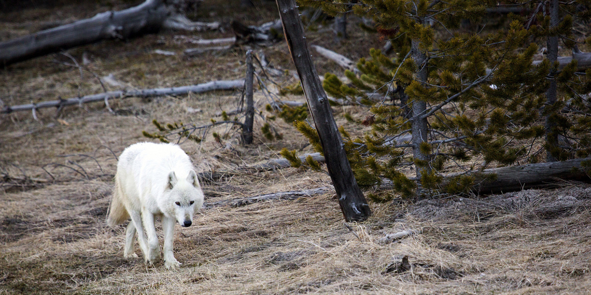 photo image Wyoming Expands Controversial Wolf Hunting Season