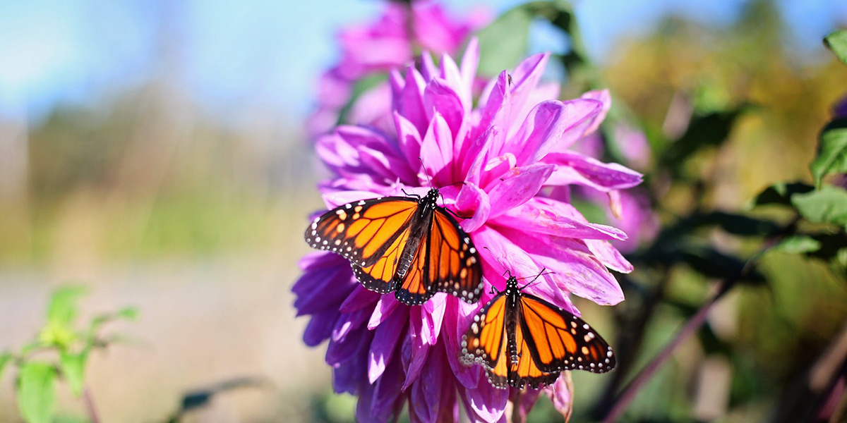 photo image Monarchs Use Milkweed as Preventive Medicine—but Climate Change May Wreck the Pharmacy