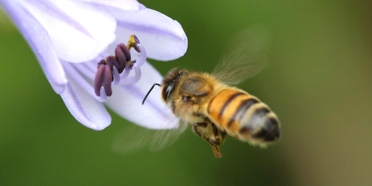 photo image Low Doses of Pesticides Make It Harder for Bees to Find Flowers