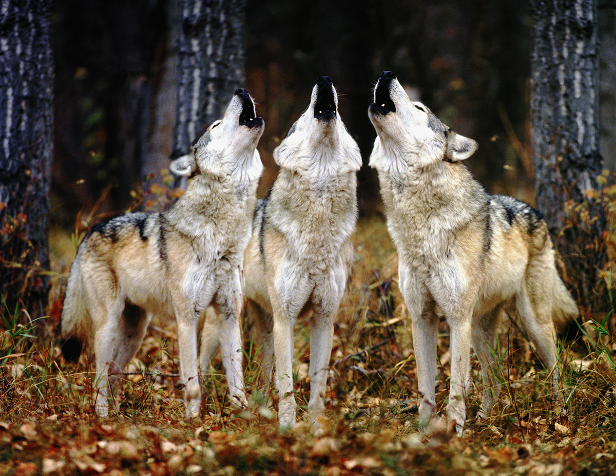 photo image Scientist at Work: Identifying Individual Gray Wolves by Their Howls