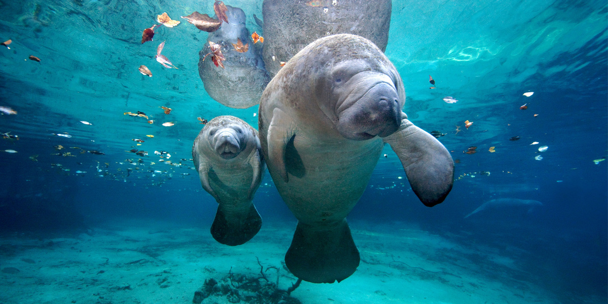 Florida Manatee: 10 percent of Population Could Be Wiped Out This Year