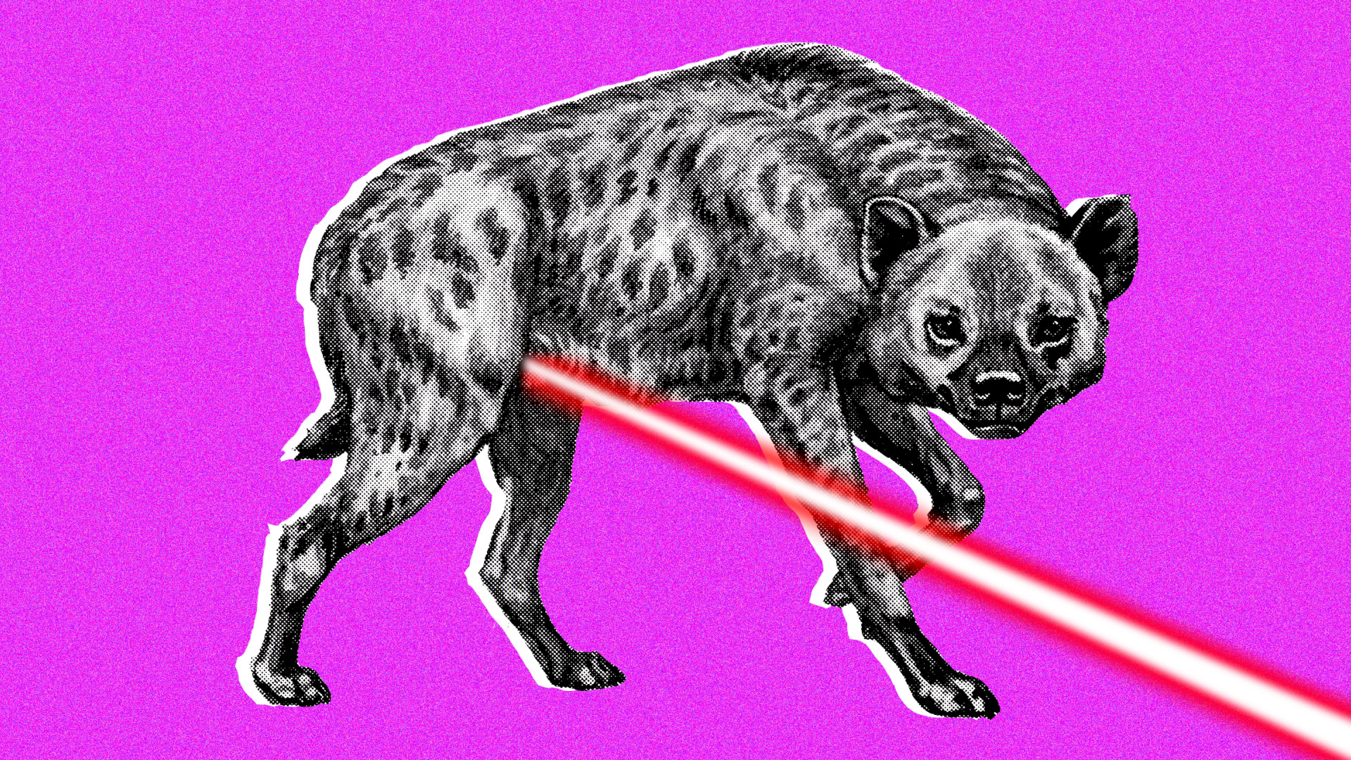 Animal Jaguar Sex Porn the extraordinary genitalia of female spotted hyenas - big think