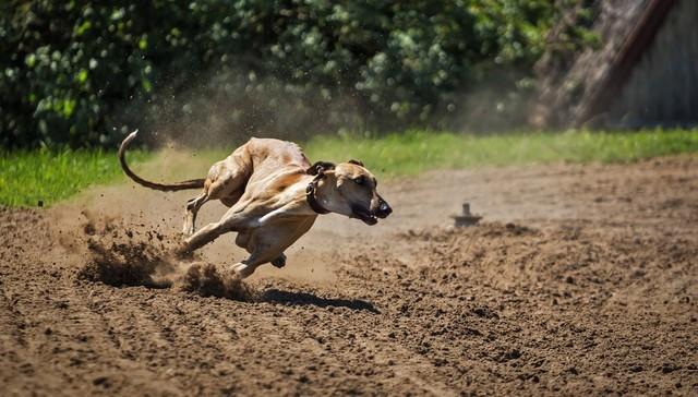Victory For Greyhounds As Dog Racing Set To End In Texas