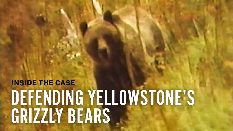 Judge Blocks First Yellowstone-Area Grizzly Hunt in 40 Years
