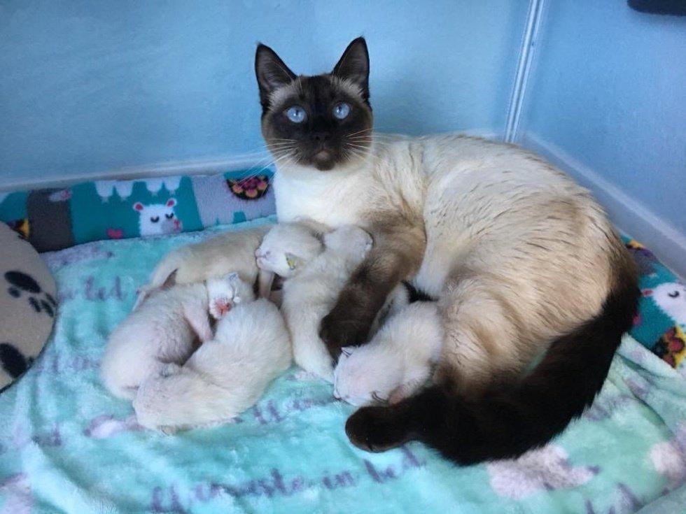 5 Fakta Yang Anda Tidak Tahu Mengenai Kucing Siam The Mamamiaow