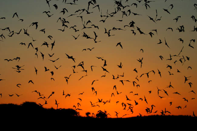 Want to know where the next Ebola outbreak will strike? Follow the bats