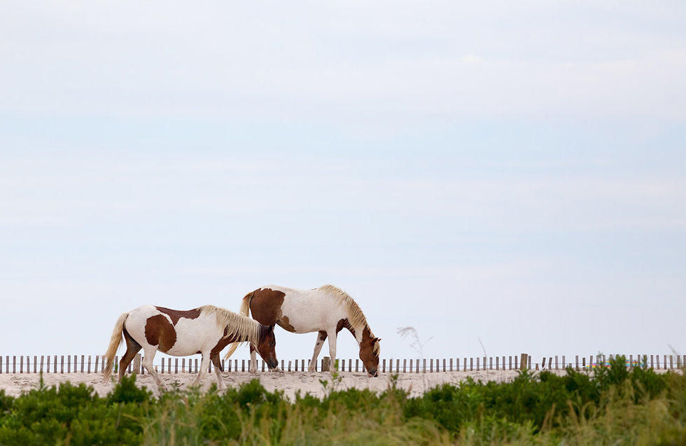 Wild Horses of Assateague Island Maryland