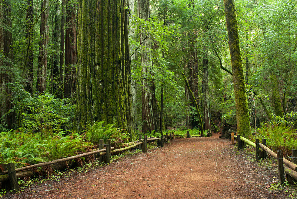 Redwoods at Armstrong Redwoods State Park