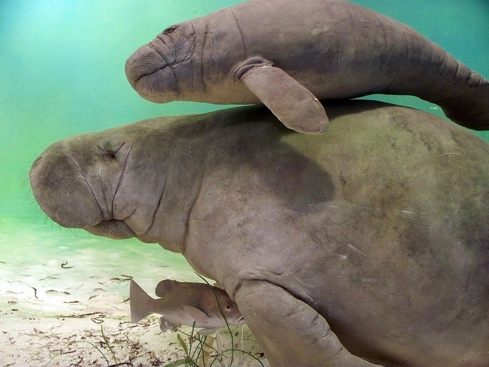 how we can preserve the endangered manatees Manatees no longer listed as endangered -- but don't celebrate just yet we believe this is a devastating blow to manatees, said patrick rose, executive director of the save the manatee club.