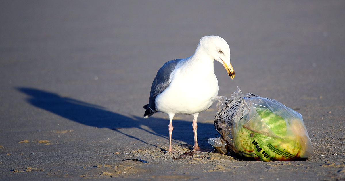 99 percent of Seabirds Will Have Plastic in Their Guts Within Decades