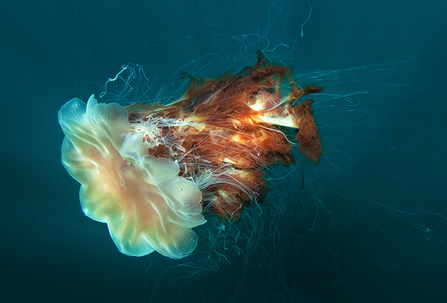 giant lion's mane jellyfish