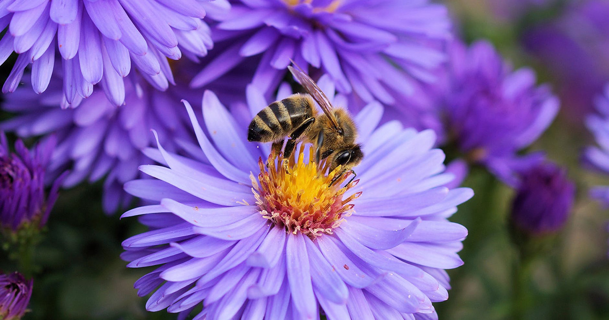 photo image EPA Considers 300,000-acre Expansion for Bee-Toxic Pesticide