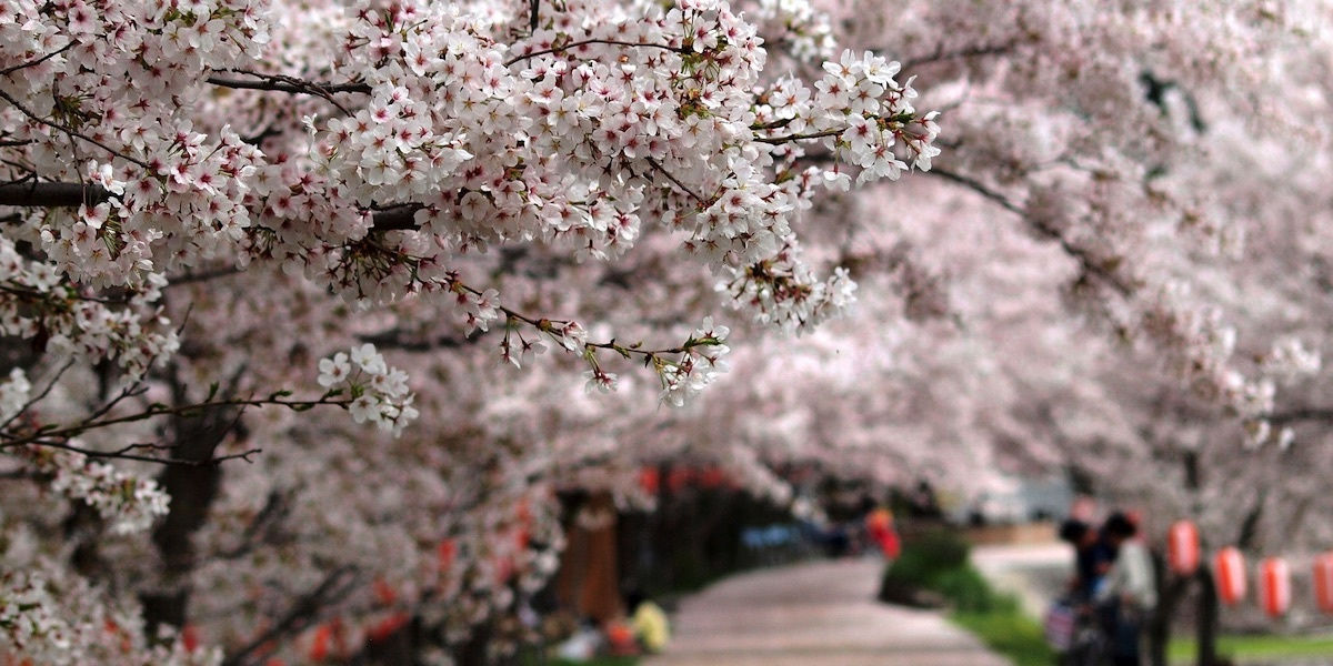photo image Cherry Blossoms are Blooming Across Japan. It's October.