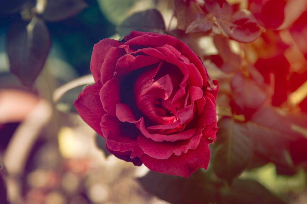 photo of rose on bush