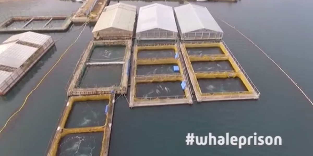 photo of 90 Belugas, 11 Orcas Trapped in 'Whale Jail' off Russian Coast image